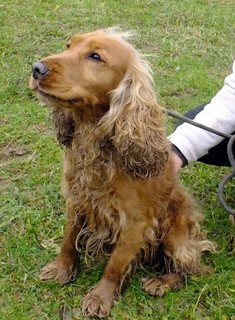 FAROW - cocker 4 ans - Refuge Spa de Thierville (55) 6565815